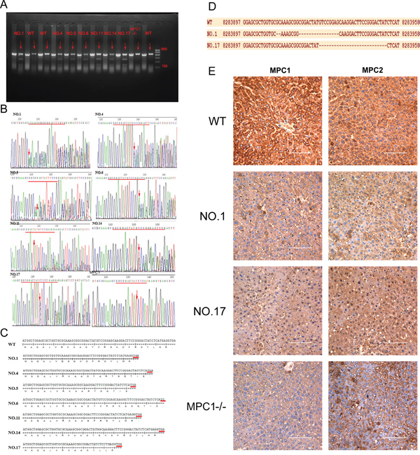 T7E1 assay, sequencing and Western blotting used for identification of gene KO mice.
