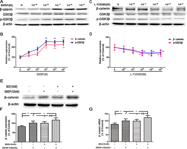 The effects of NK-1R activation (using SMSP) and inhibition (using L-733060) on p-GSK3β, GSK3β and β-catenin protein expression.