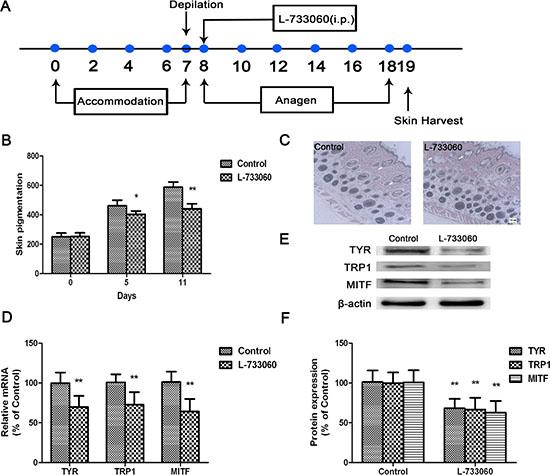 L-733060 inhibited melanin production in C56/BL6J mice.