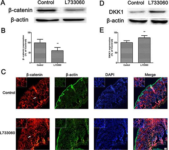L-733060 decreased the expression of β-catenin in C56/BL6J mice.