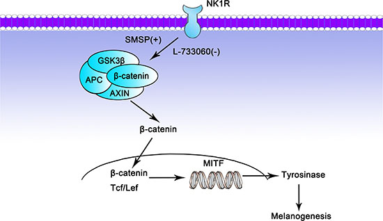 Potential mechanism by which NK-1R may regulate melanogenesis through Wnt/β-catenin signaling pathway.