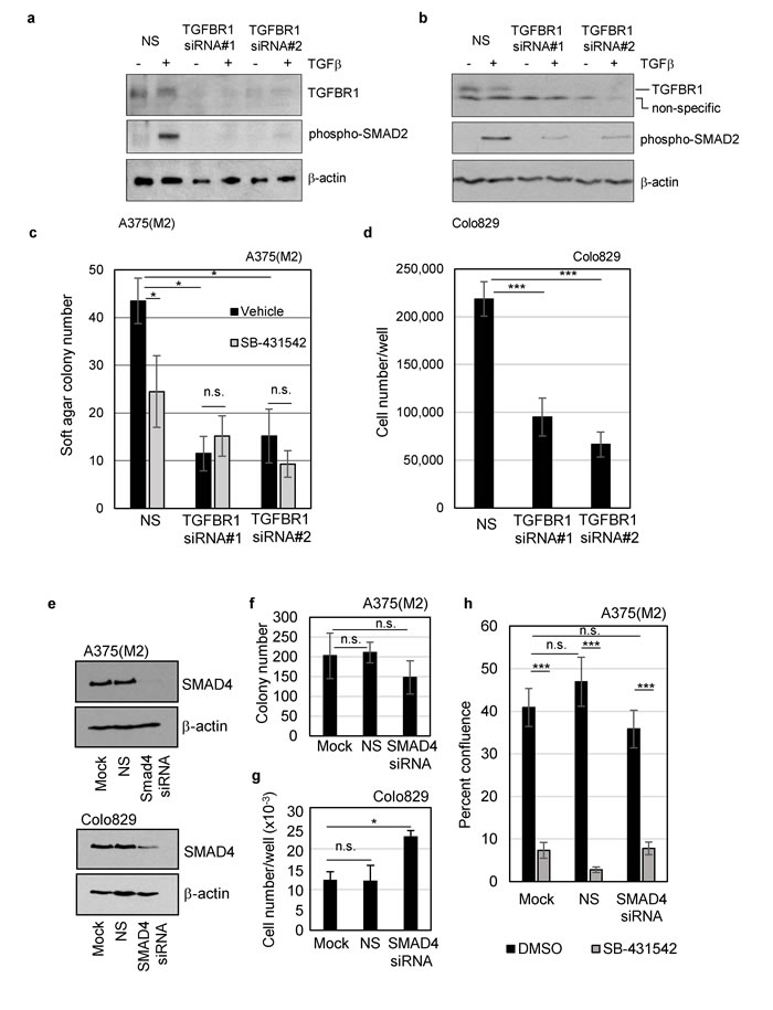 TGFBR1, but not SMAD4, is required for clonogenicity of mutant BRAF