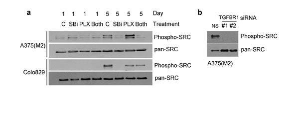 SB-431542 treatment and TGFBR1 knockdown inhibit phosphorylation of SRC.