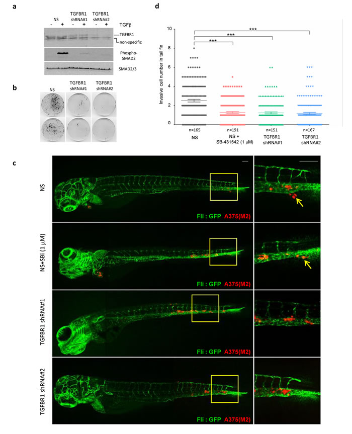 TGFBR1 is required for tumour cell metastasis in xenografted zebrafish.