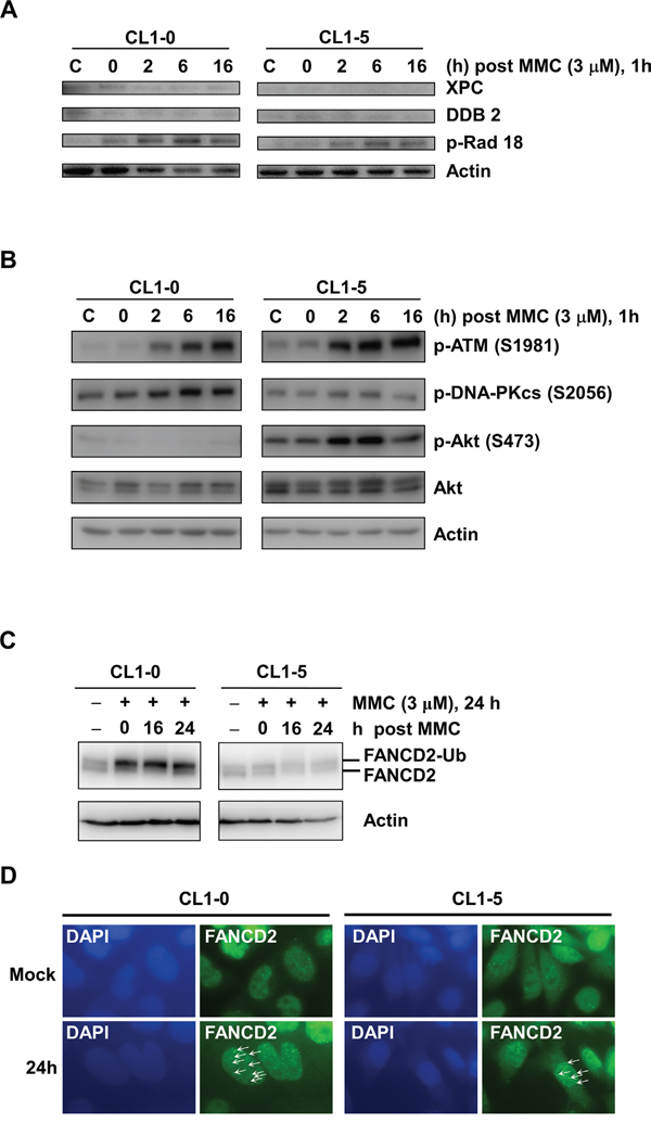 Western blot analysis of DNA damage responses in Cl1-0 and CL1-5 cells post 3 μM MMC treatment.