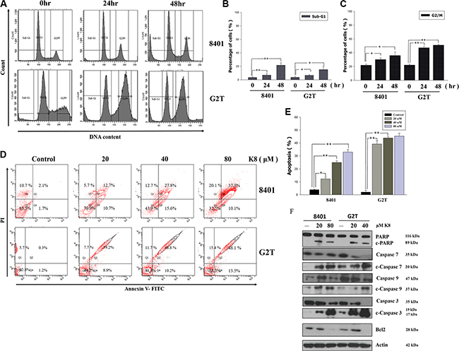 Effects of K8 on cell cycle and apoptosis in glioblastoma cell lines 8401 and G2T.