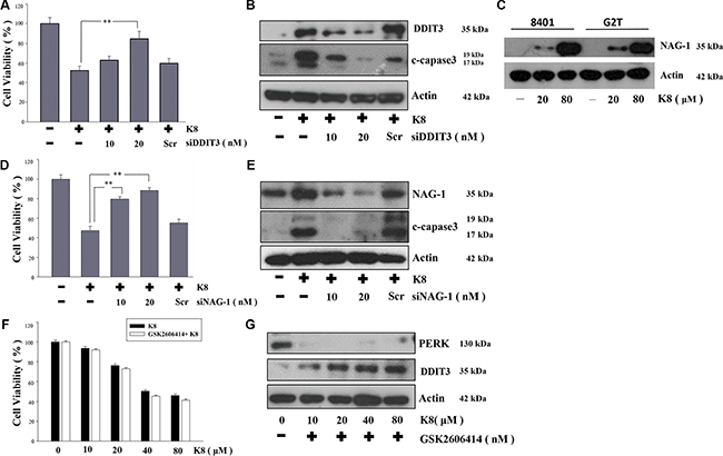Effect of DDIT3, NAG-1, PERK on the induction of apoptosis by K8 in 8401.