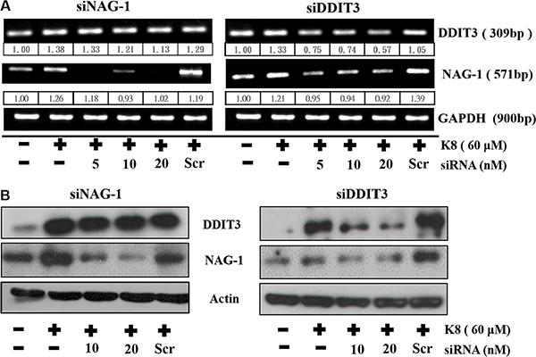 DDIT3 contributes to the regulation of NAG-1 gene expression.