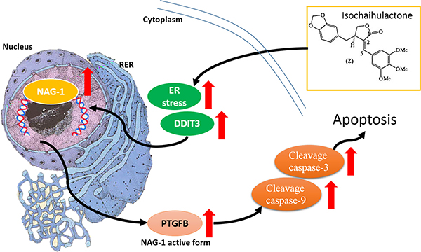 K8 induction of DDIT3 expression which leads to the modulation of NAG-1, and the whole process results in GBM cell apoptosis.