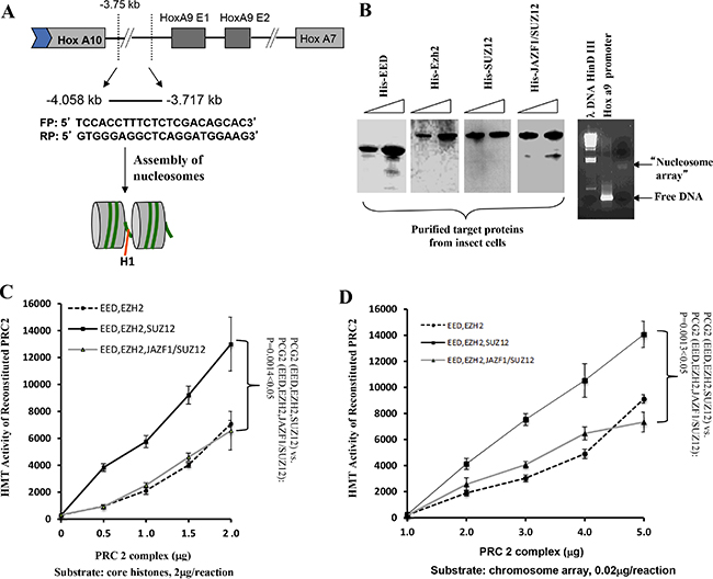 The level of HMT activity of reconstituted PRC2 complexes assayed with nucleosome arrays containing the HOXA9 promoter depends upon the form of SUZ12 in the complexes.