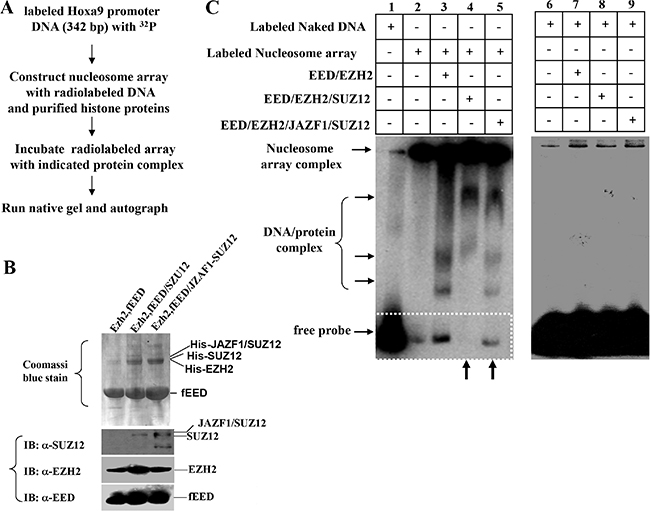 Fusion protein JAZF1-SUZ12 disrupts the interaction of PRC2 to the nucleosome array of target gene promoter in vitro.