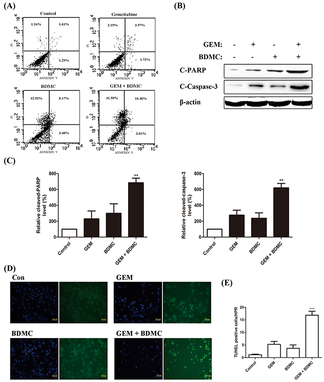BDMC potentiates GEM in pancreatic cancer cells by inducing apoptosis.