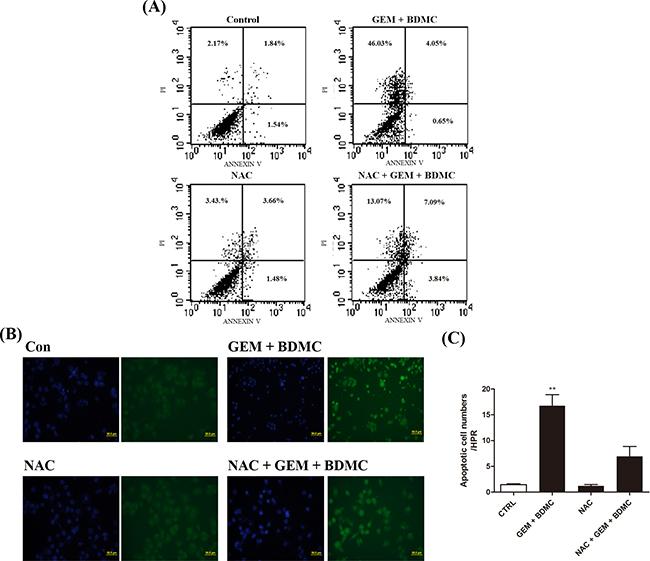 NAC partially reverses BDMC-induced cell death.