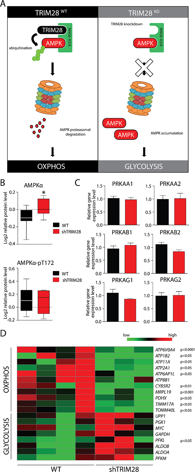 AMPK accumulation upon TRIM28 knockdown mediates metabolic switch from OXPHOS to glycolysis in cancer cells.
