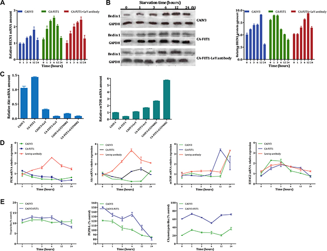The expression of BECN1 gene tested by Real-Time PCR after starvation three group cells (Figure A).