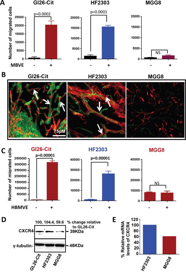 Oncotarget Cxcr4 Increases In Vivo Glioma Perivascular Invasion