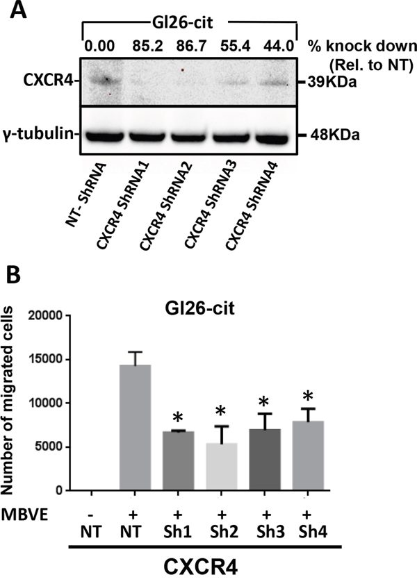 ShRNA-mediated knockdown of CXCR4 in mouse GL26-Cit glioma cells suppress their migration towards endothelial cells.