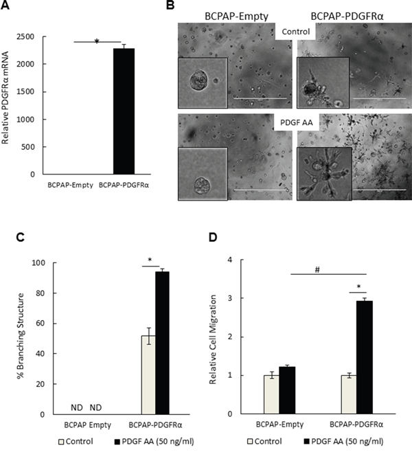 PDGFRα expression and activation conferred an invasive-like, branching 3D morphology and a migratory phenotype on papillary thyroid cancer cells.