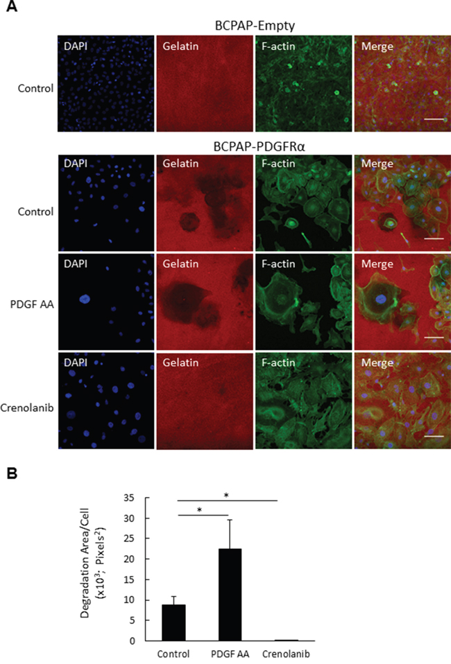 PDGFRα activation increases invadopodia degradation activity.