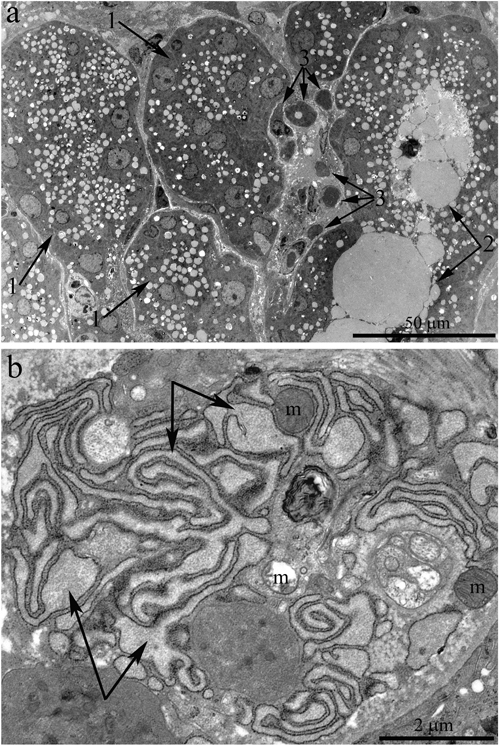 Ultrastructure of the lacrimal gland of Wistar rats at age 24 months.