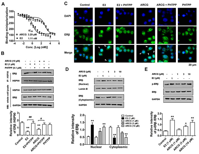 Arctigenin displays binding ability to ERβ and promotes the activation of ERβ in T cells.
