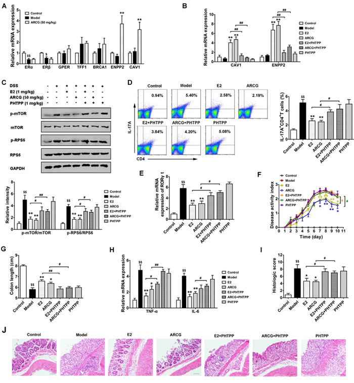 Activation of ERβ induced by arctigenin is associated with inhibition of mTORC1 activation, Th17 response and disease amelioration in DSS-induced colitis mice.