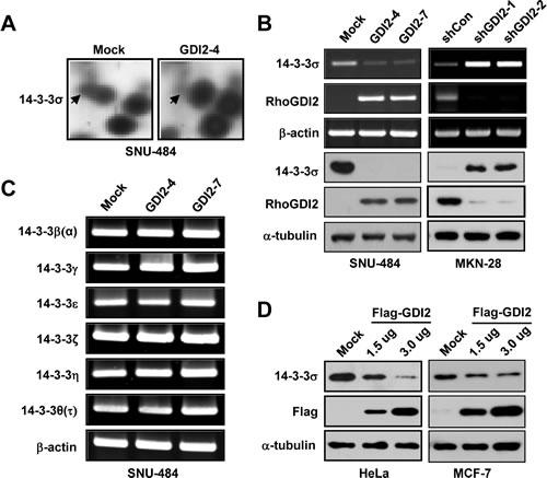 RhoGDI2 downregulates 14-3-3σ expression.
