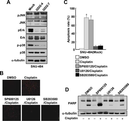 Suppression of Erk and p38 activation attenuates cisplatin-induced apoptosis in gastric cancer cells.