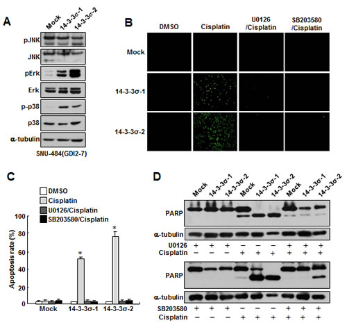 Ectopic expression of 14-3-3σ attenuates RhoGDI2-induced cisplatin resistance in gastric cancer cells through Erk and p38 activation.