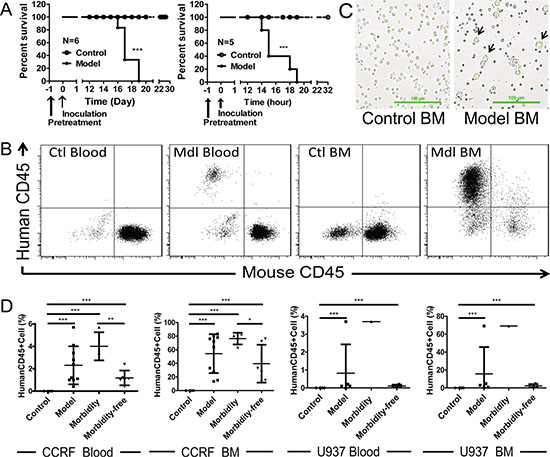Engrafted mouse models for human ALL and AML.