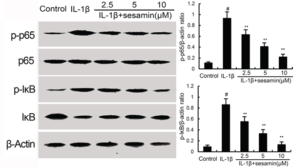 Sesamin inhibits IL-1β-induced NF-κB activation and IκBα degradation.