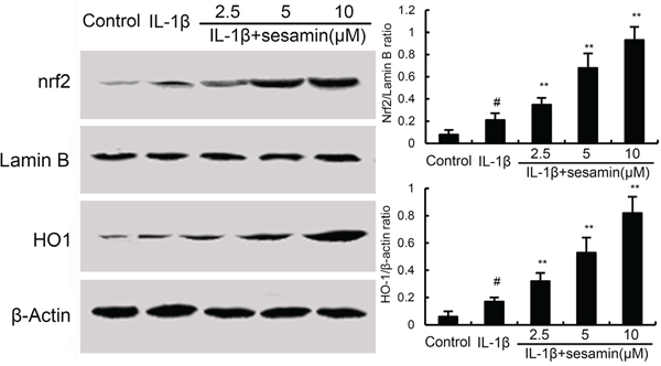 Effects of sesamin on Nrf2 signaling pathway.