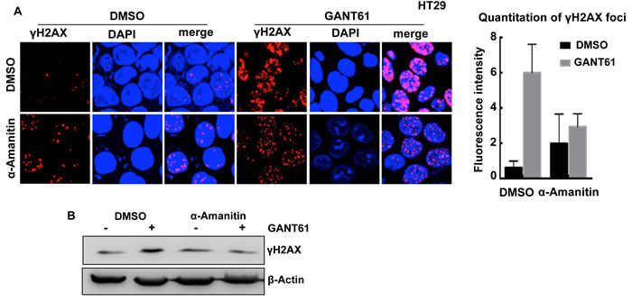 Effect of the Pol II inhibitor α-amanitin on GANT61-induced γH2AX foci.