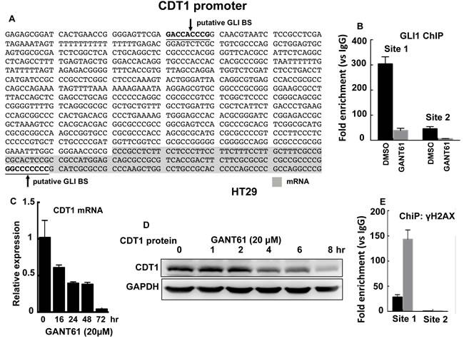 CDT1 is a transcriptional target of GLI1.