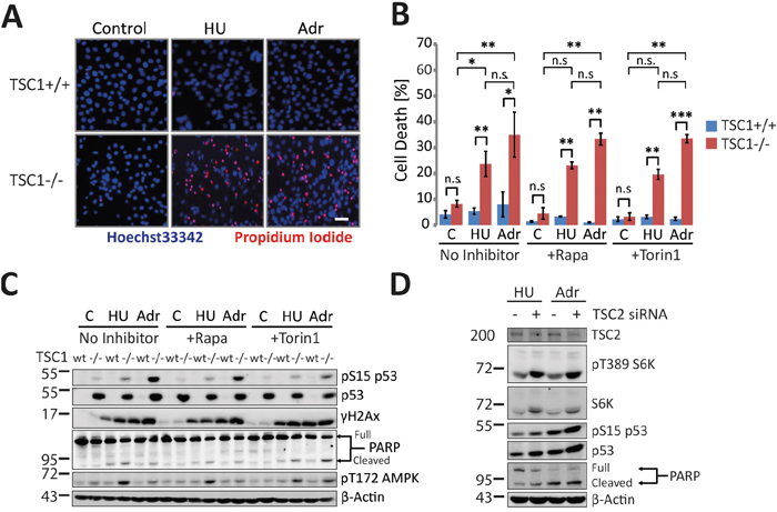 Oncotarget | TSC loss distorts DNA replication programme and