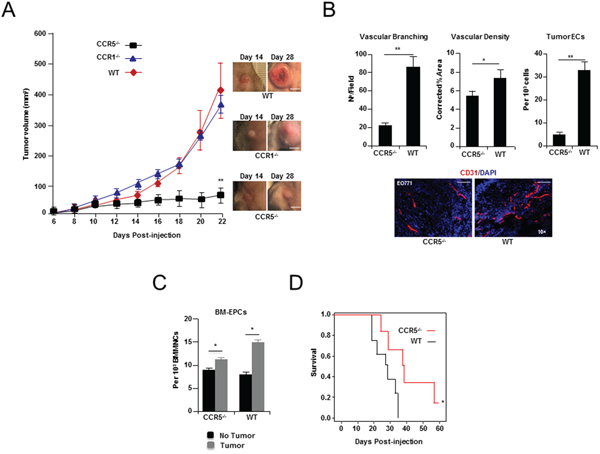 Breast tumor growth and angiogenesis in CCR5 null mice.