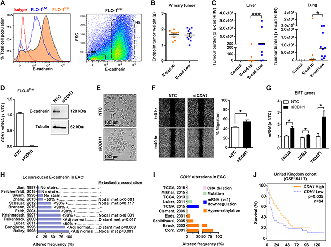 Low E-cadherin expression is associated with increased metastasis in FLO-1 and reduced patient survival.