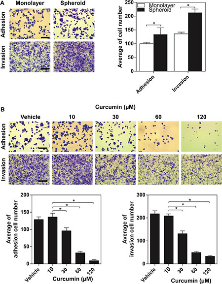 The inhibitory effect of curcumin on aggressive capacity of SKOV3 spheroid.