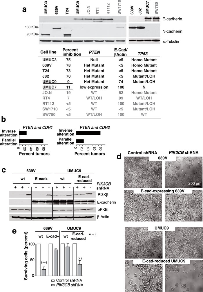 E-cadherin expression determines UBC line sensitivity to si