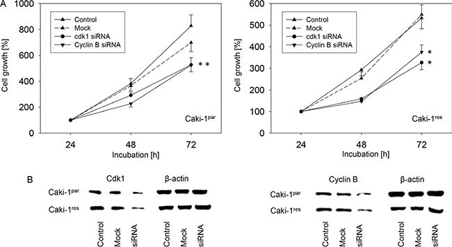 Oncotarget | Sulforaphane inhibits proliferation and