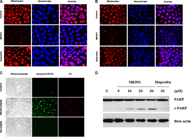 Inhibition of 5-Lox triggers mitochondrial permeability transition and induces apoptosis in PCSCs.