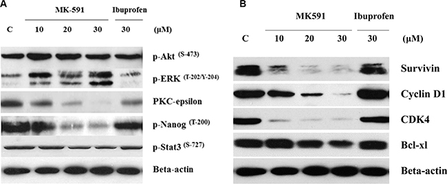 5-Lox inhibition-induced apoptosis in prostate cancer stem cells involves inhibition of PKCε, but not Akt or ERK.