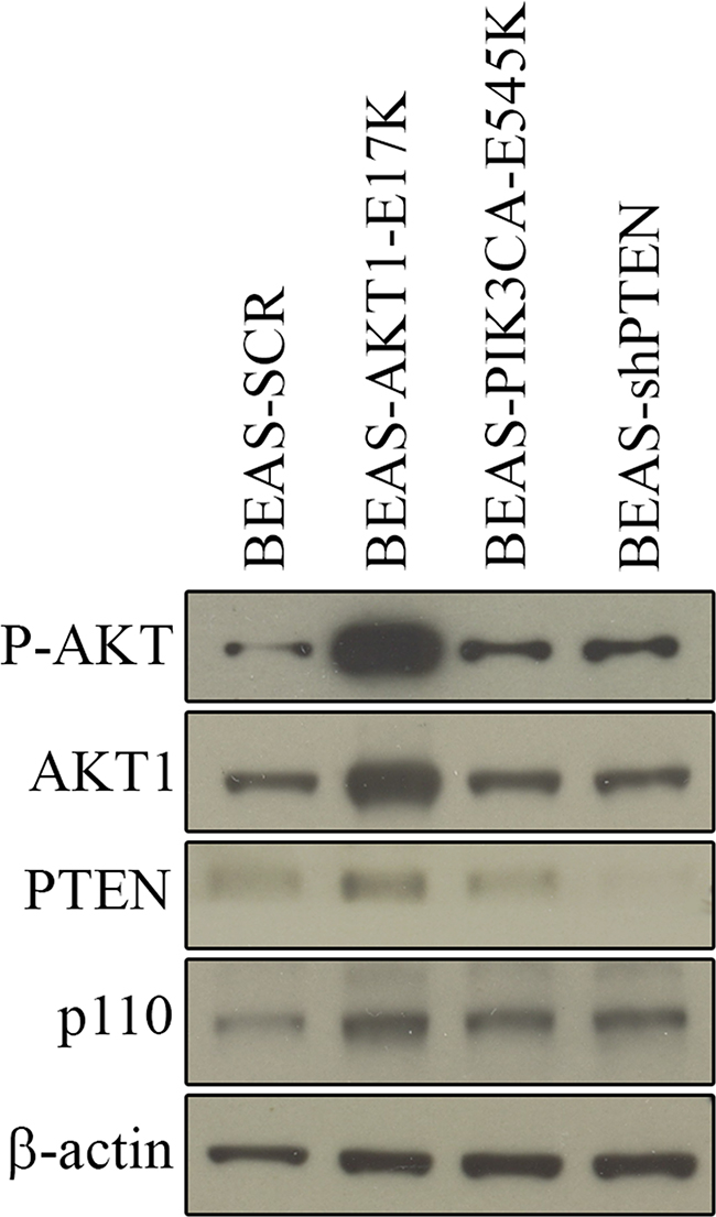 Expression of AKT1-E17K, PIK3CA-E545K, PTEN in BEAS-2B cells and derivatives.