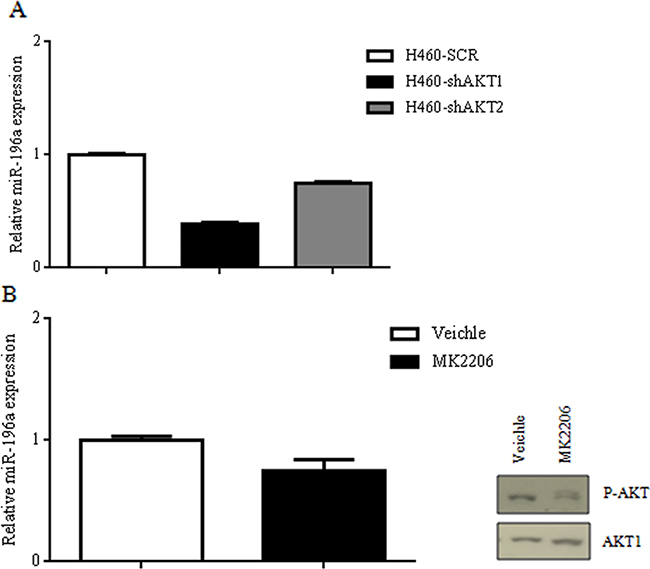 Suppression of AKT signaling on miR-196a expression in NSCLC cells.