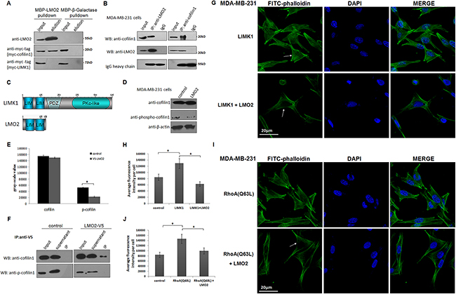 LMO2 blocked LIMK1-mediated cofilin1 phosphorylation and impaired stress fiber formation in basal breast cancer cells.