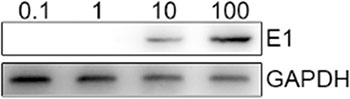 E1a protein is detected in CTL after infected with different MOI of adenoviruses.
