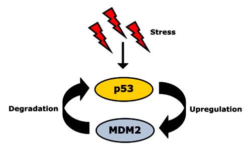 Autoregulatory feedback loop between p53 and its negative regulator, MDM2.