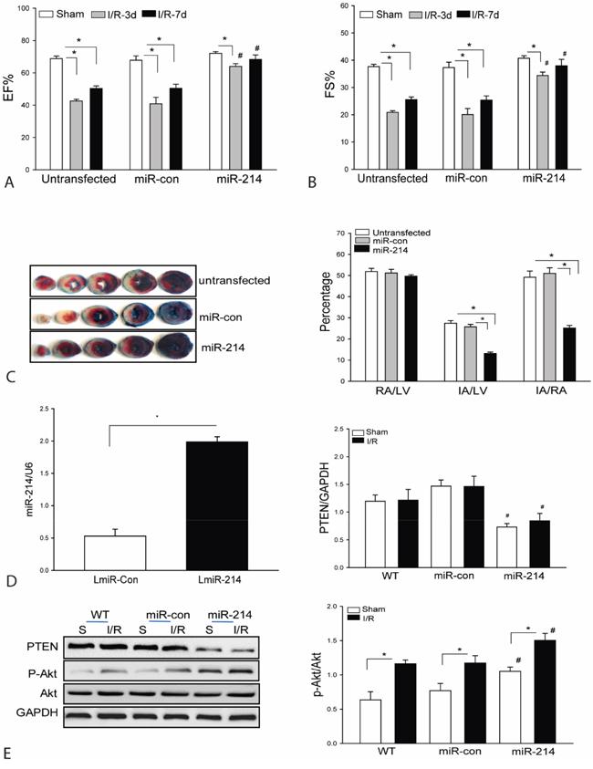 Transfection of lentivirus expressing miR-214 into the myocardium improves cardiac function and decreases infarct size following myocardial I/R injury.