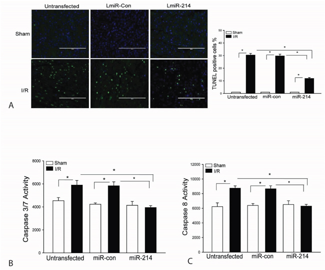 Increased expression of miR-214 attenuates I/R-induced myocardial apoptosis.