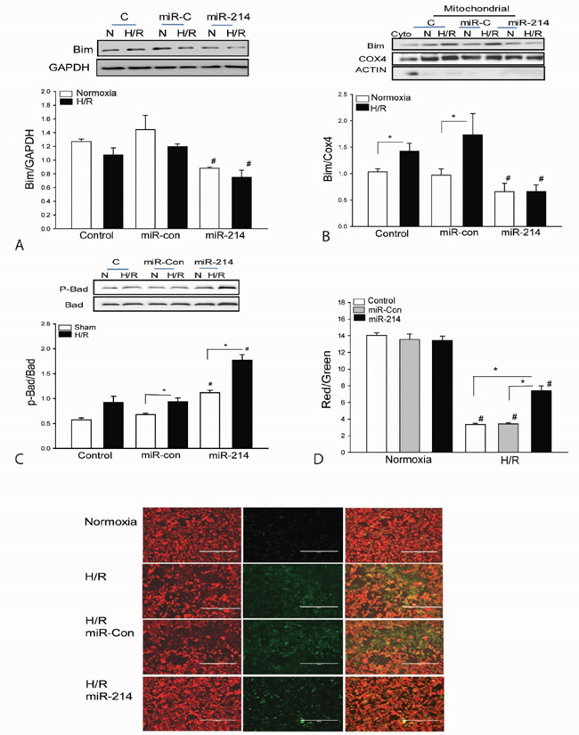 Increased expression of miR-214 suppresses the expression and mitochondrial translocation of Bim1 and increases the levels of phosphorylated Bad in cardiomyoblasts H9C2 cells.